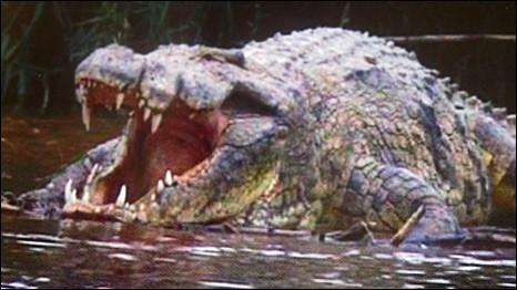 O crocodilo Gustave aguardando a próxima refeição!
